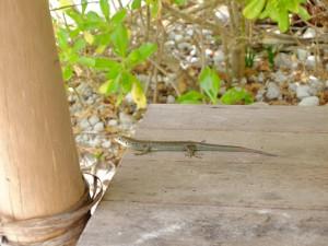 イルデパン島沖のブラシ島にいたヤモリ